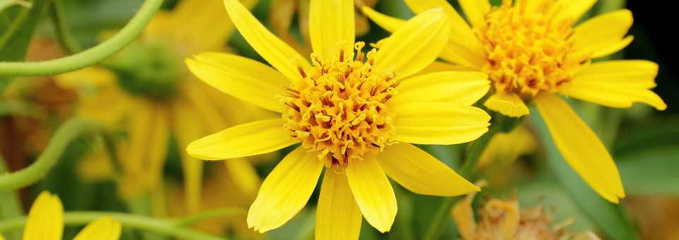 Arnica all about wat is arnica valkruid