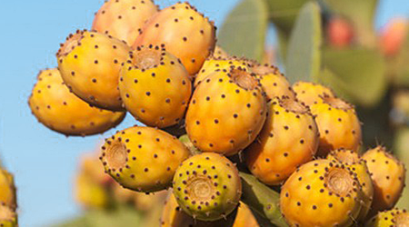 all about prickly pear oil
