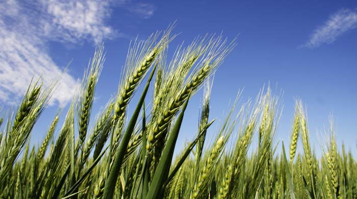 all about wheat germ oil